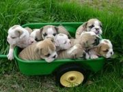 English Bulldog, English, Old English Bulldogs, Cute Puppies